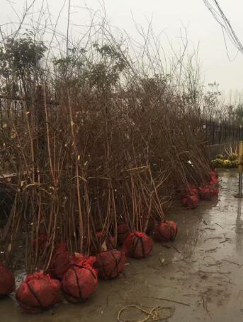20公分百日红苗木价格 4公分百日红苗木价格