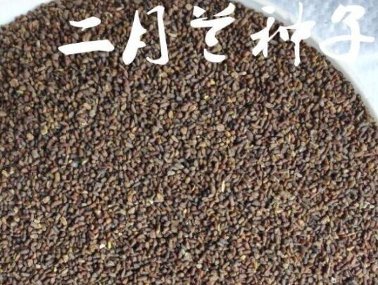 二月兰种子多少钱一斤 批发二月兰种子