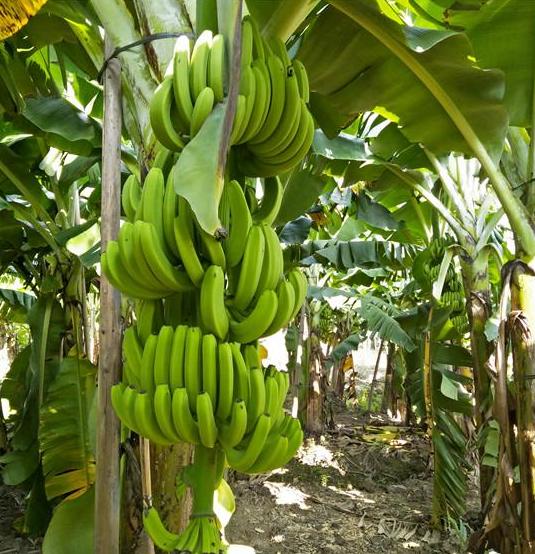 香蕉树苗哪里买 香蕉树苗批发价格