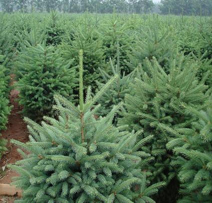云杉苗木种植基地 云杉苗木价格