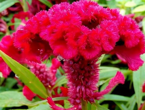 鸡冠花种子批发价格 鸡冠花种子多少钱一斤