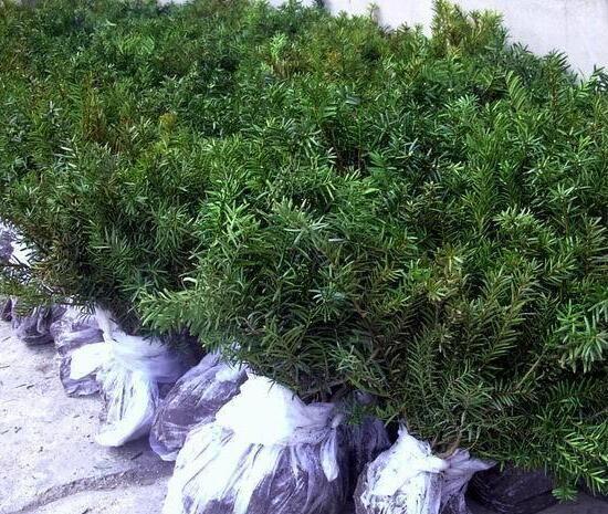 红豆杉苗木报价 红豆杉苗木基地