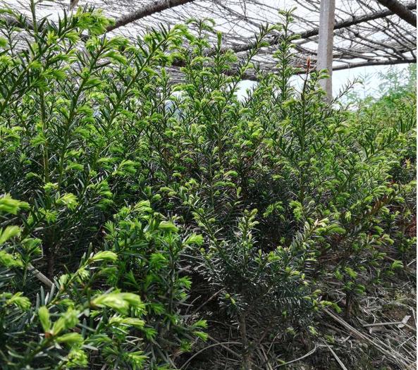 红豆杉树苗报价 红豆杉树苗多少钱一棵
