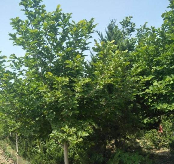 核桃树苗批发基地 核桃树苗价格及规格