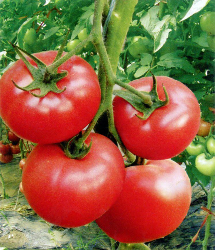 金粉13番茄种子图片大全 金粉13番茄种子厂家供应