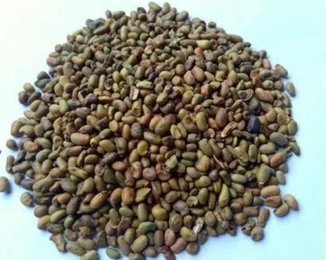 绿化种子批发 绿化种子有哪些品种
