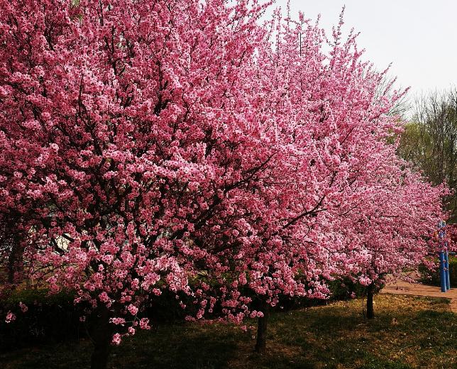 樱花树市场价格 樱花树价格多少钱