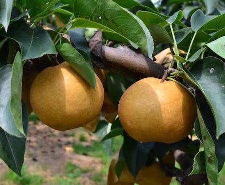 新高梨价格 新高梨多少钱一斤