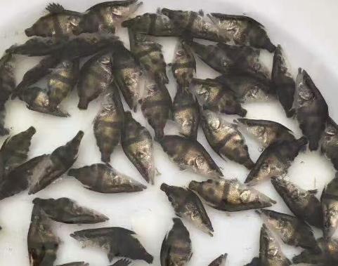 桂鱼鱼苗多少钱一斤 桂鱼鱼苗价格