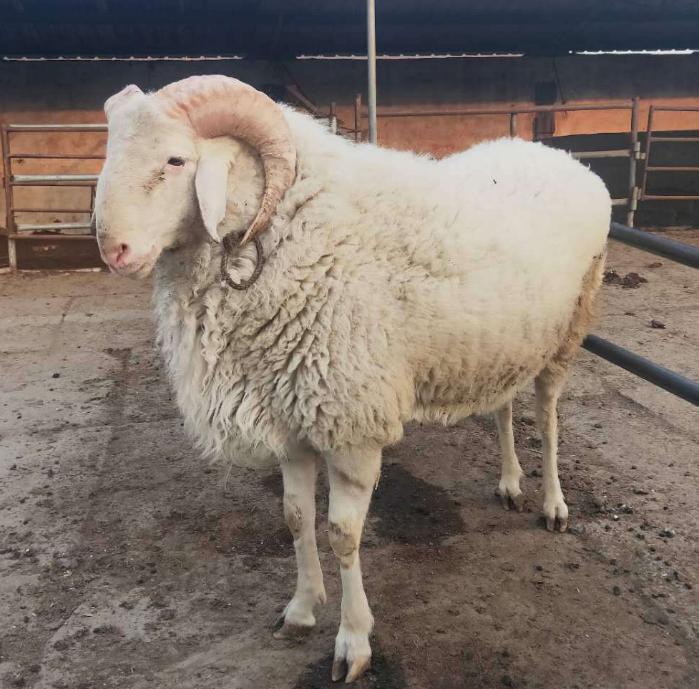 哪里有出售小尾寒羊 哪里出售小尾寒羊羊苗最好