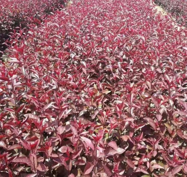 紫叶矮樱小苗价格 紫叶矮樱厂家