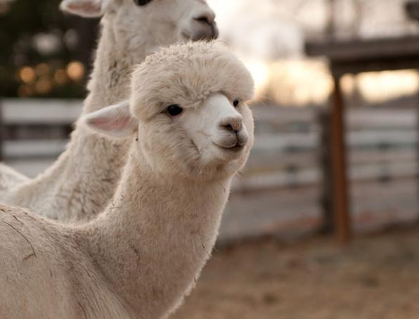 羊驼的价格多少钱一只 羊驼的价格多少