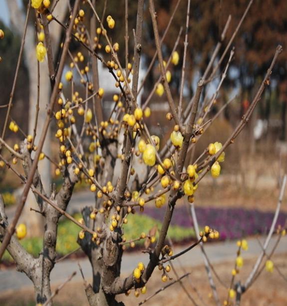 腊梅树价格多少钱一棵 腊梅树价格表