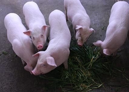 小猪崽价格多少钱 小猪崽价格表