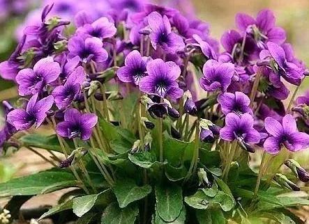 紫花地丁价格 紫花地丁批发价