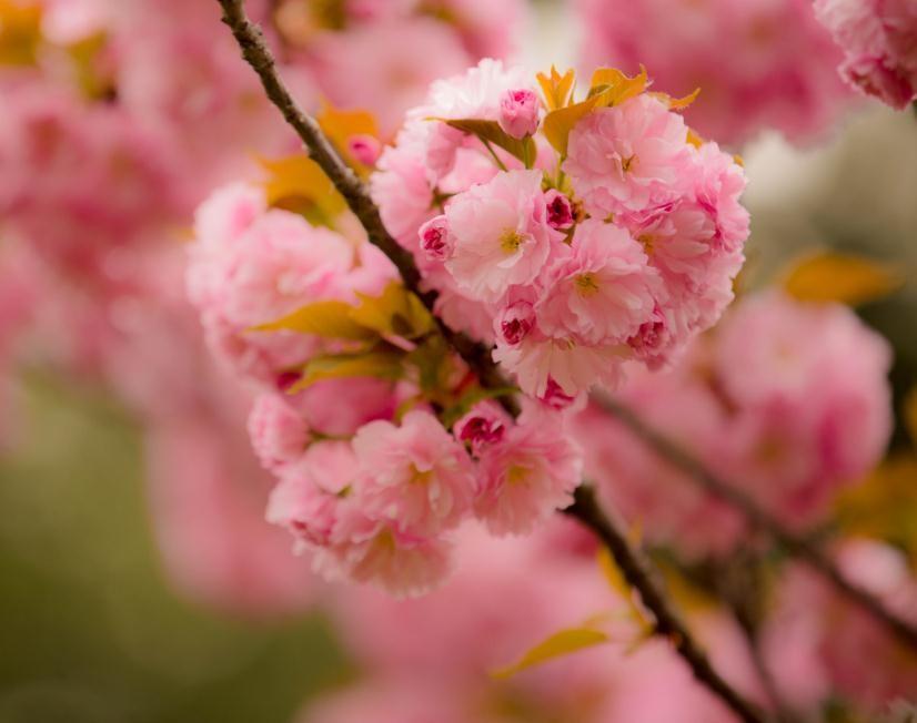 樱花价格表 樱花价格行情