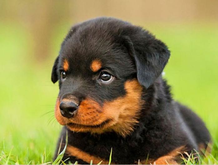 罗威纳犬厂家直销价格 罗威纳犬市场价多少钱