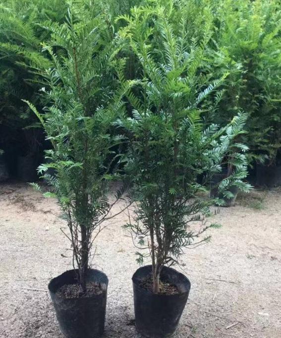 红豆杉种苗价格 红豆杉种苗供应