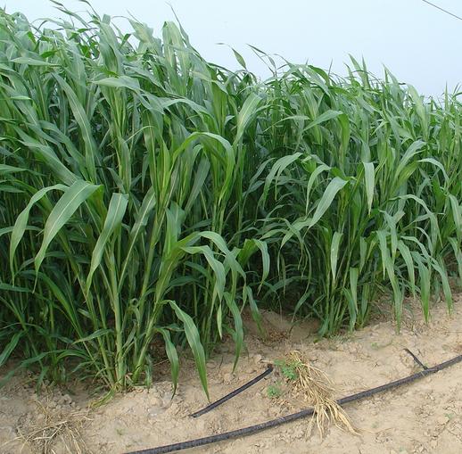苏丹草种子价格 苏丹草种子厂家直销
