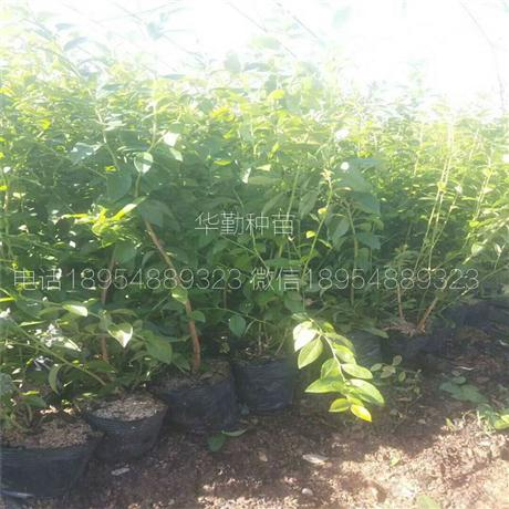 抗寒蓝莓品种供应商 抗寒蓝莓品种批发价格