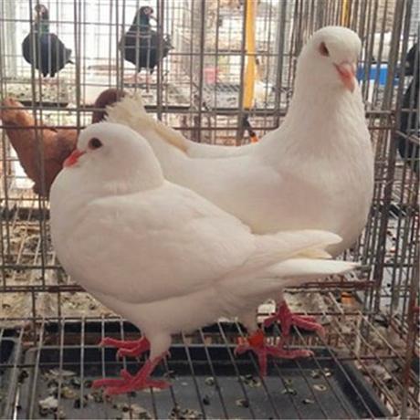 鸽子价格多少钱一只 鸽子价格及图片大全