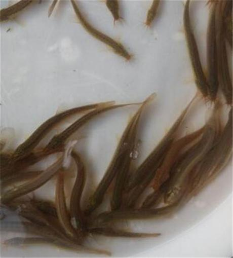 泥鳅苗批发价格表 泥鳅苗哪里有卖
