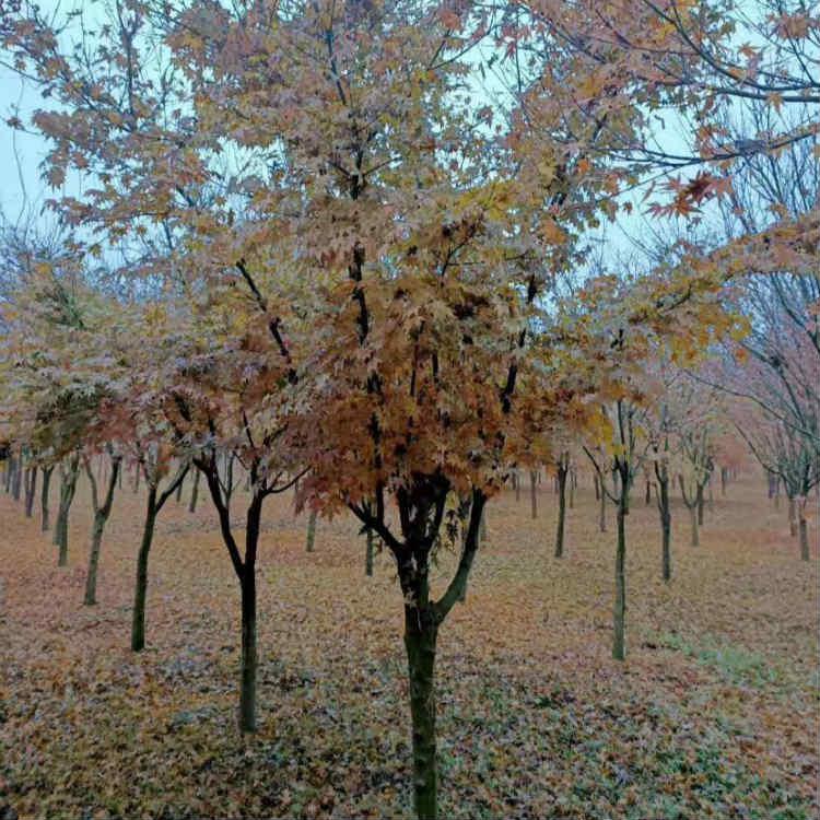 鸡爪槭树价格 鸡爪槭树图片