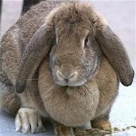 公羊兔市场价多少钱一斤 公羊兔苗多少钱一只