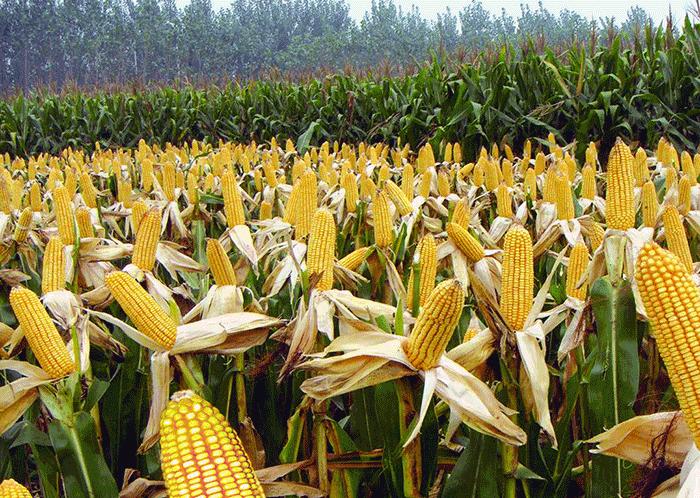 爆米花专用玉米粒批发 爆米花专用玉米粒哪个牌子好