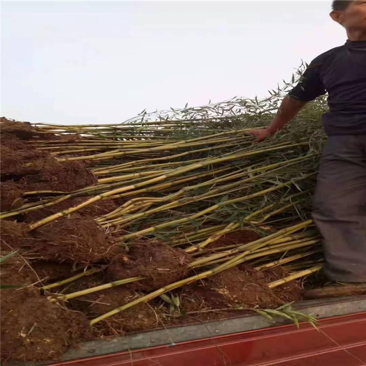 竹子种类大全 竹子种类图片大全