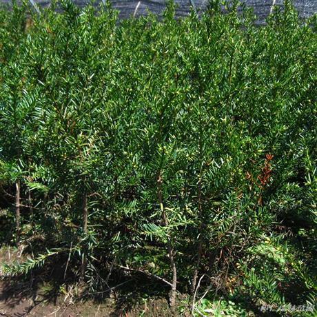 东北红豆杉苗木基地 东北红豆杉苗木现货供应
