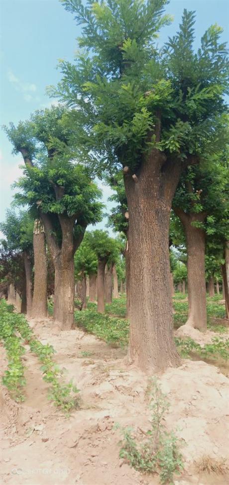 大国槐树一棵多少钱 大国槐树市场价格