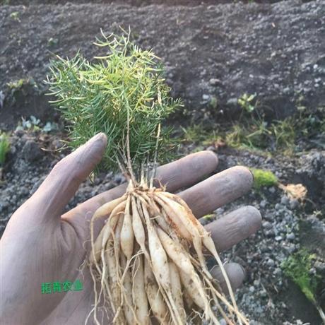 天冬种苗批发 天冬种苗多少钱一棵