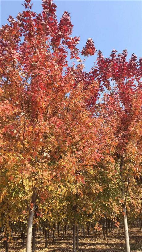美国红枫厂家直销 美国红枫最新价格