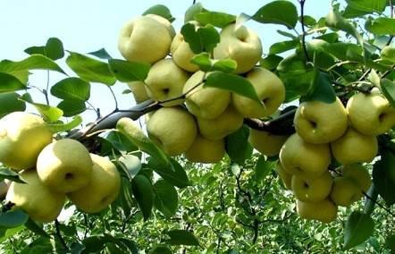 砀山梨多少钱一斤 砀山梨厂家直销价格