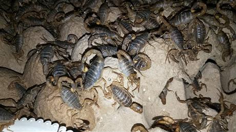 蝎子养殖基地 蝎子厂家价格
