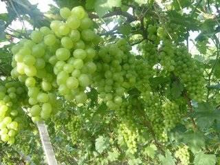 葡萄新品种有哪些 葡萄新品种介绍及图片